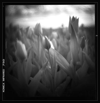 the tulip Noord Oost Polder The Nederlands