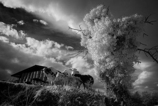les-vaches-heureux-mielan-gers-andre-hemelrijk